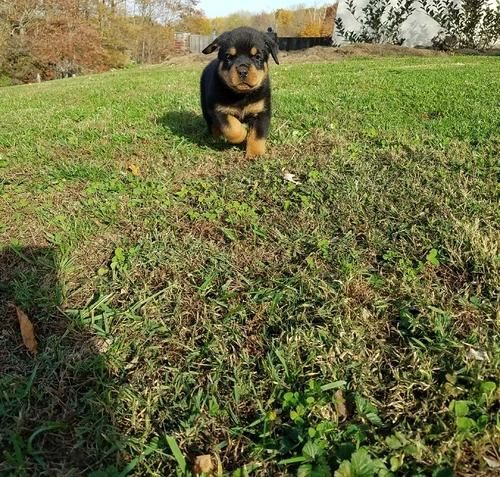 Rottweiler Puppies For Sale Temple Tx 169760 Petzlover