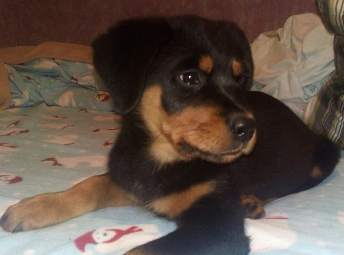 Rottweiler Puppies For Sale North Carolina 54 Nc 175712