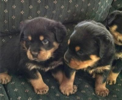 Rottweiler Puppies For Sale Idaho Falls Id 182976