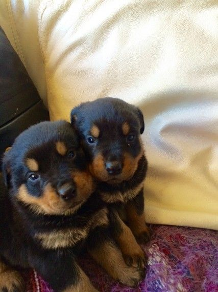Rottweiler Puppies For Sale Manhattan Ny 191372