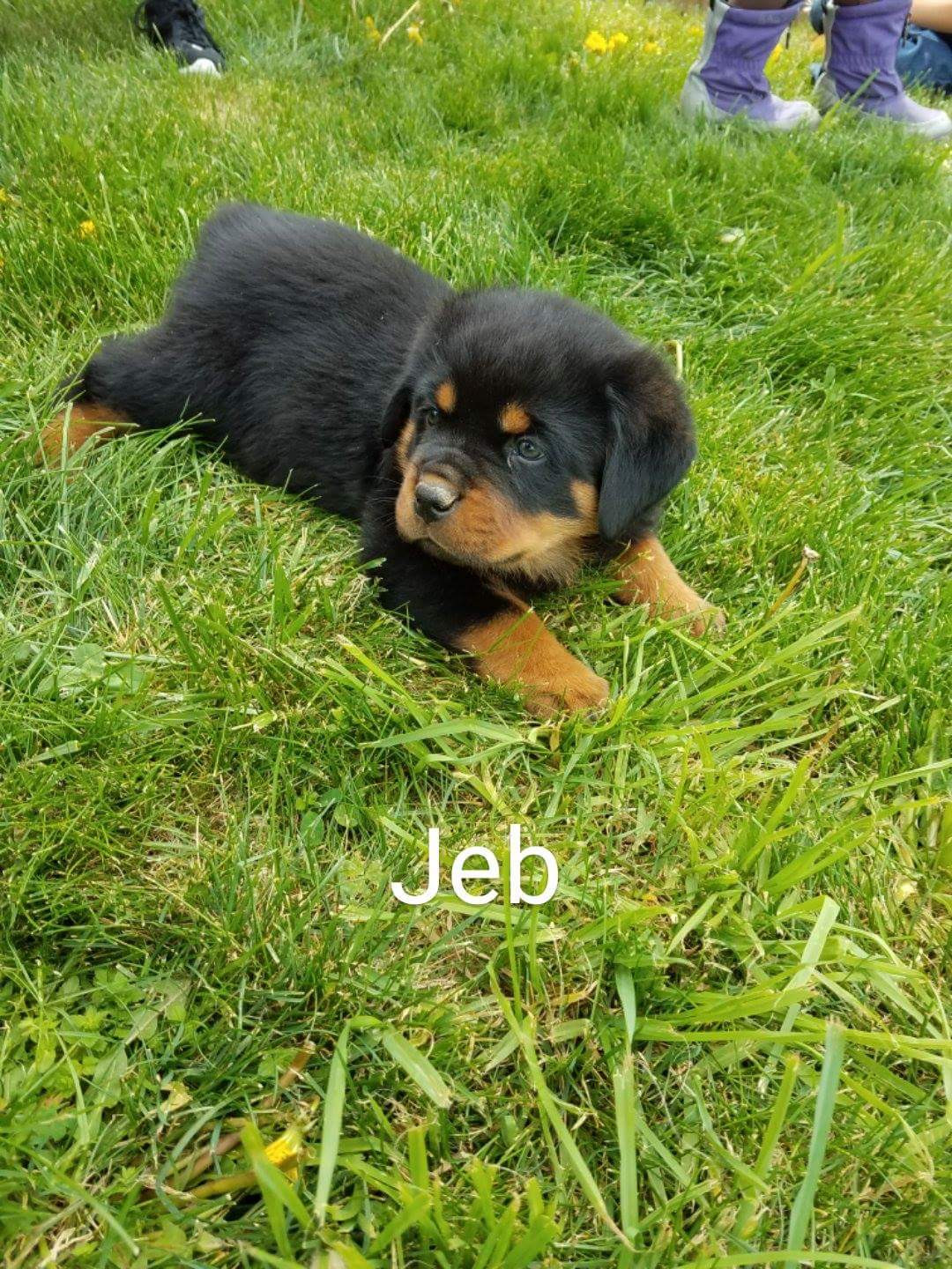 Rottweiler Puppies For Sale Wooster Oh 192336