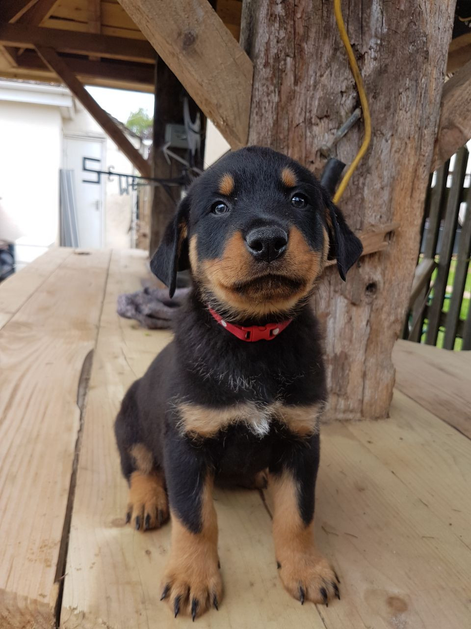 Rottweiler Puppies For Sale California Avenue Surratts Md 193371