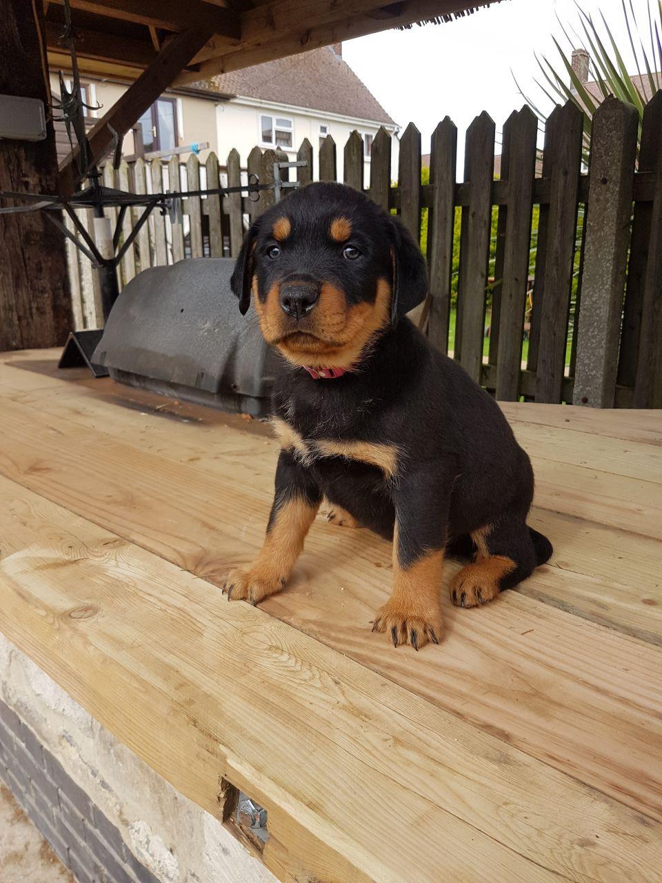 Rottweiler Puppies For Sale Pennsylvania Avenue Northwest Dc 193872