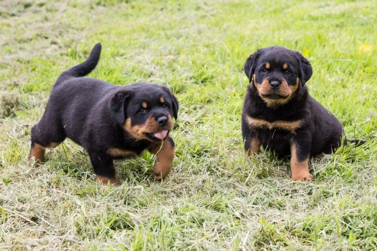 Rottweiler Puppies For Sale Houston Tx 211678