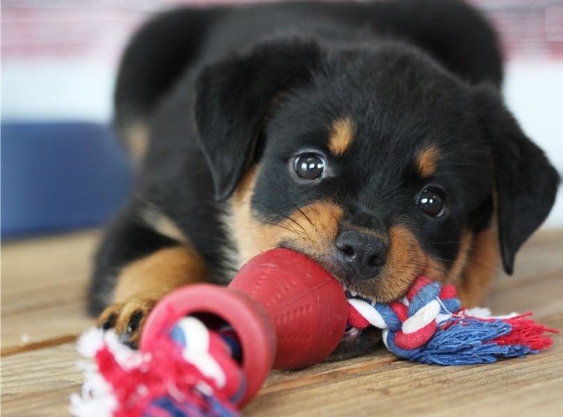 Rottweiler Puppies For Sale Dallas Parkway Tx 213187