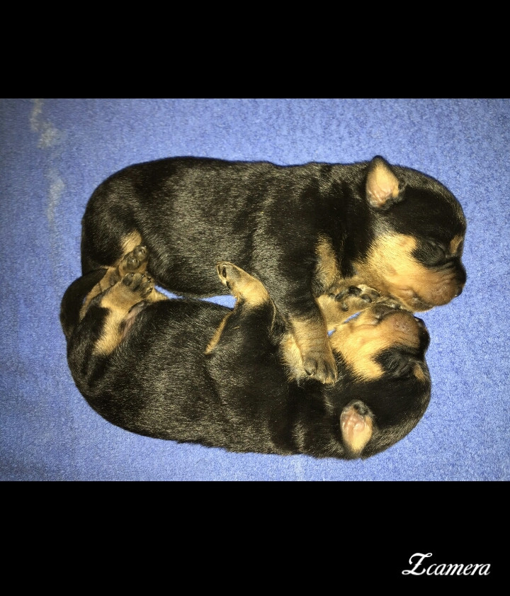 Rottweiler puppies for sale in arizona