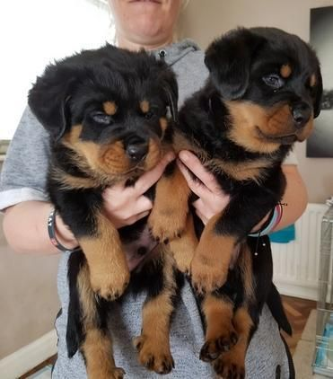 Rottweiler Puppies For Sale Pittsburgh Pa 244844