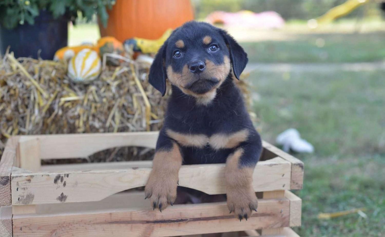 Rottweiler Puppies - Von Zennith German Rottweiler Breeder
