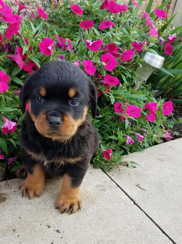 Rottweiler Puppies For Sale Craigslist San Diego
