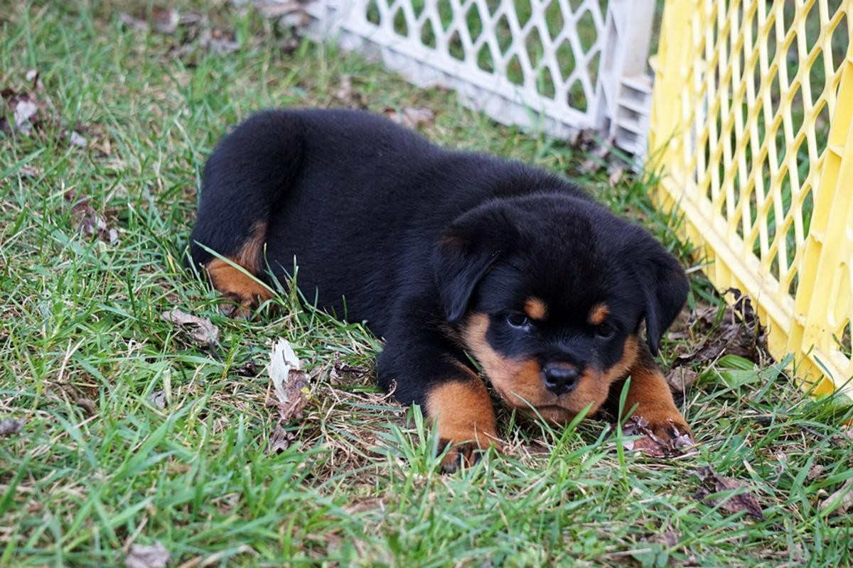 AKC Rottweiler puppies for Sale in Germany