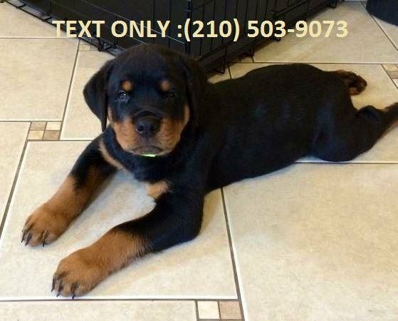 Rottweiler puppies for sale in ny