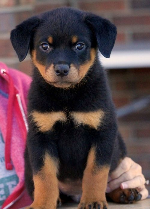 Rottweiler Puppies For Sale New Orleans La 260991