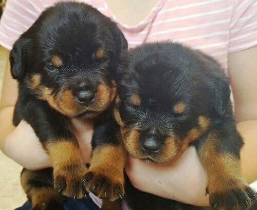 Rottweiler Puppies For Sale San Antonio Tx 265852