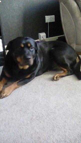 Rottweiler Puppies For Sale San Antonio Tx 265860