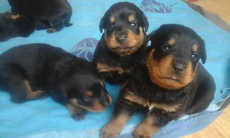 Rottweiler Puppies For Sale San Antonio Tx 265867