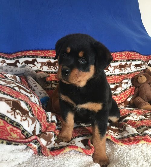 Rottweiler Puppies For Sale Houston Tx 267696