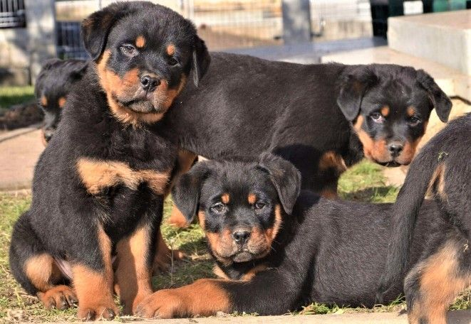 Rottweiler Puppies For Sale Savannah Ga 279331