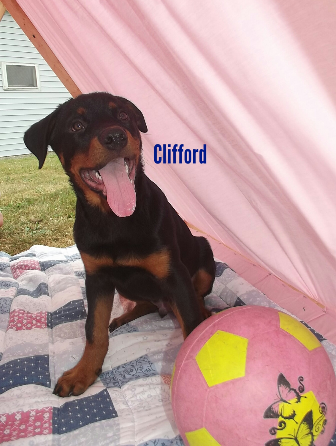 Rottweiler Puppies For Sale Moravia Ny 279929