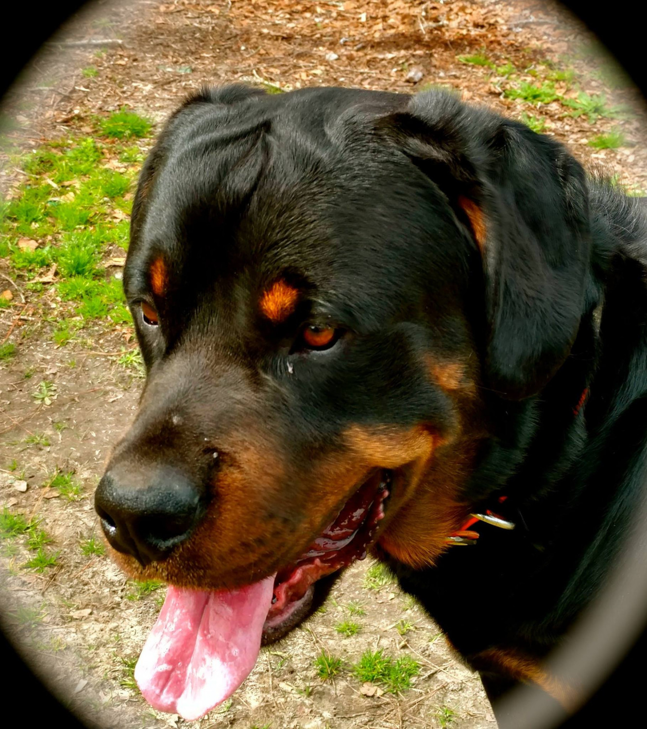 Rottweiler Puppies For Sale Riegelwood Nc 280372