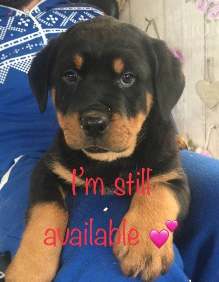 Rottweiler Puppies For Sale Pondfield Road Eastchester Ny 285784
