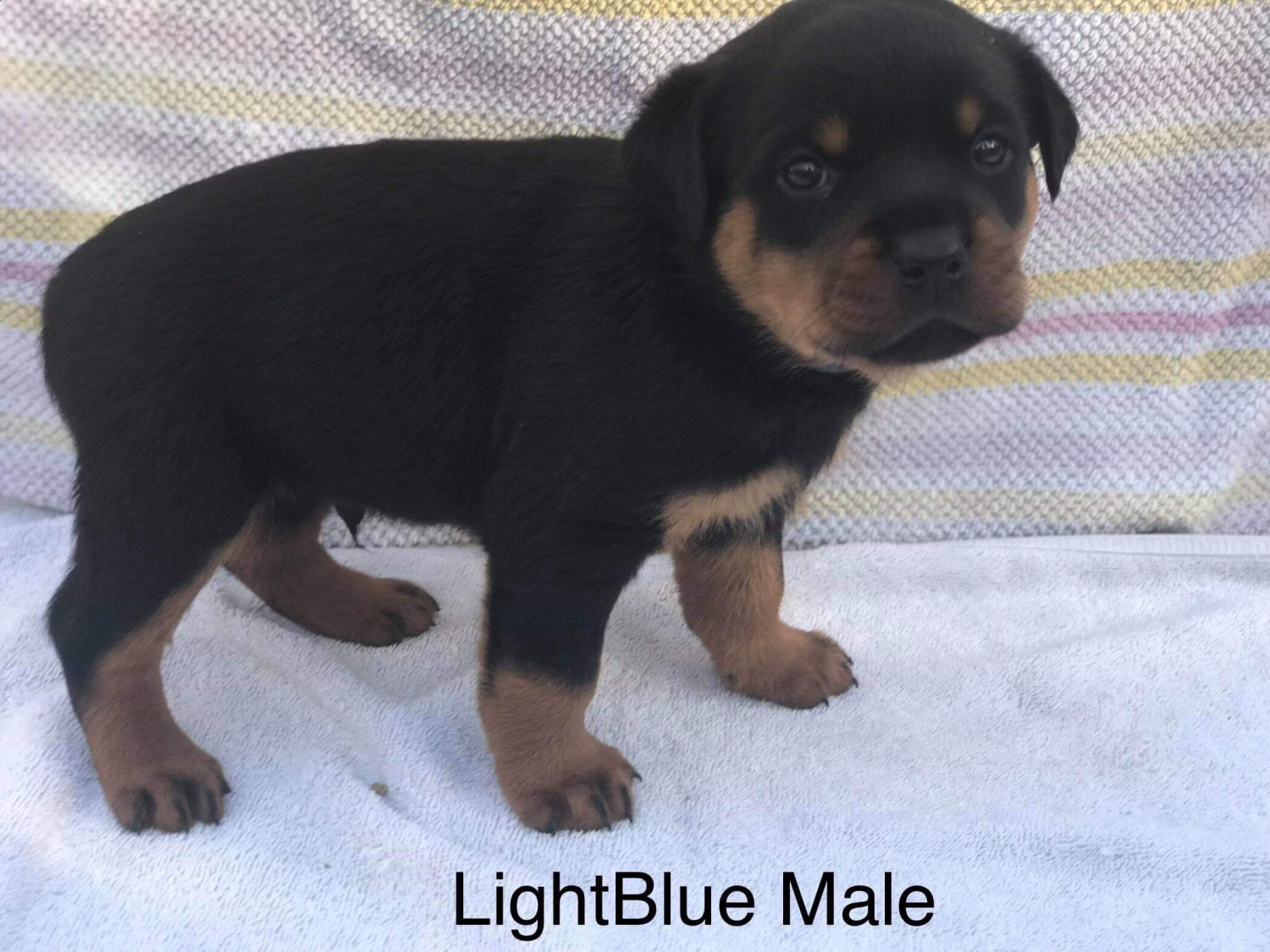 Rottweiler Puppies For Sale Greensboro Nc 286169