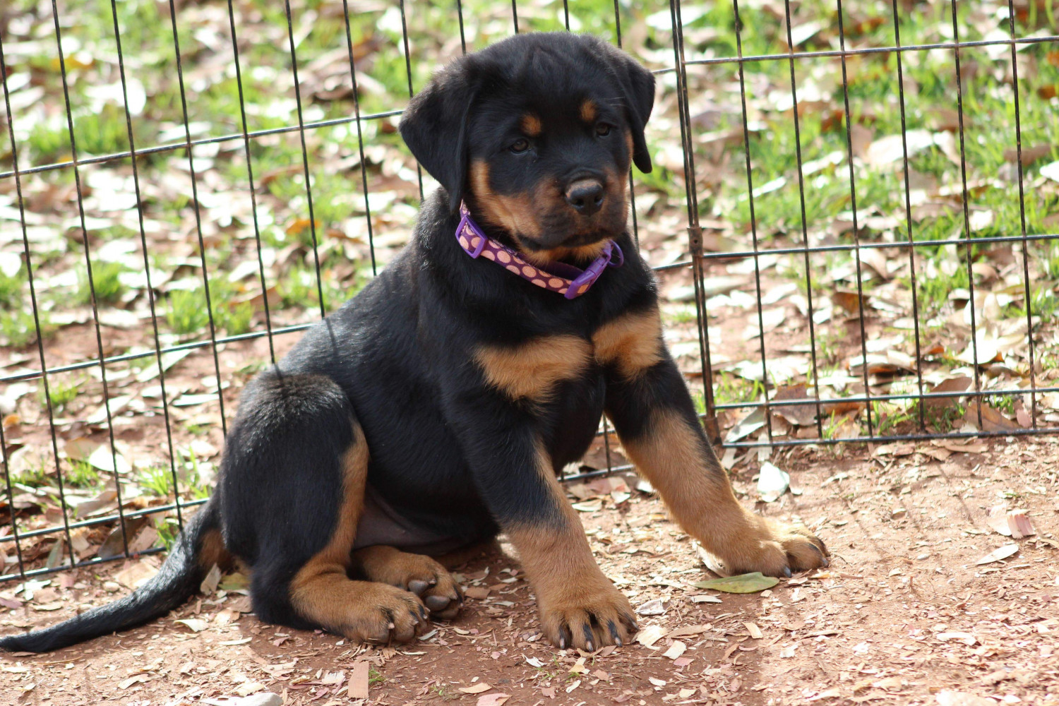 Rottweiler Puppies For Sale Charlotte Nc 286904