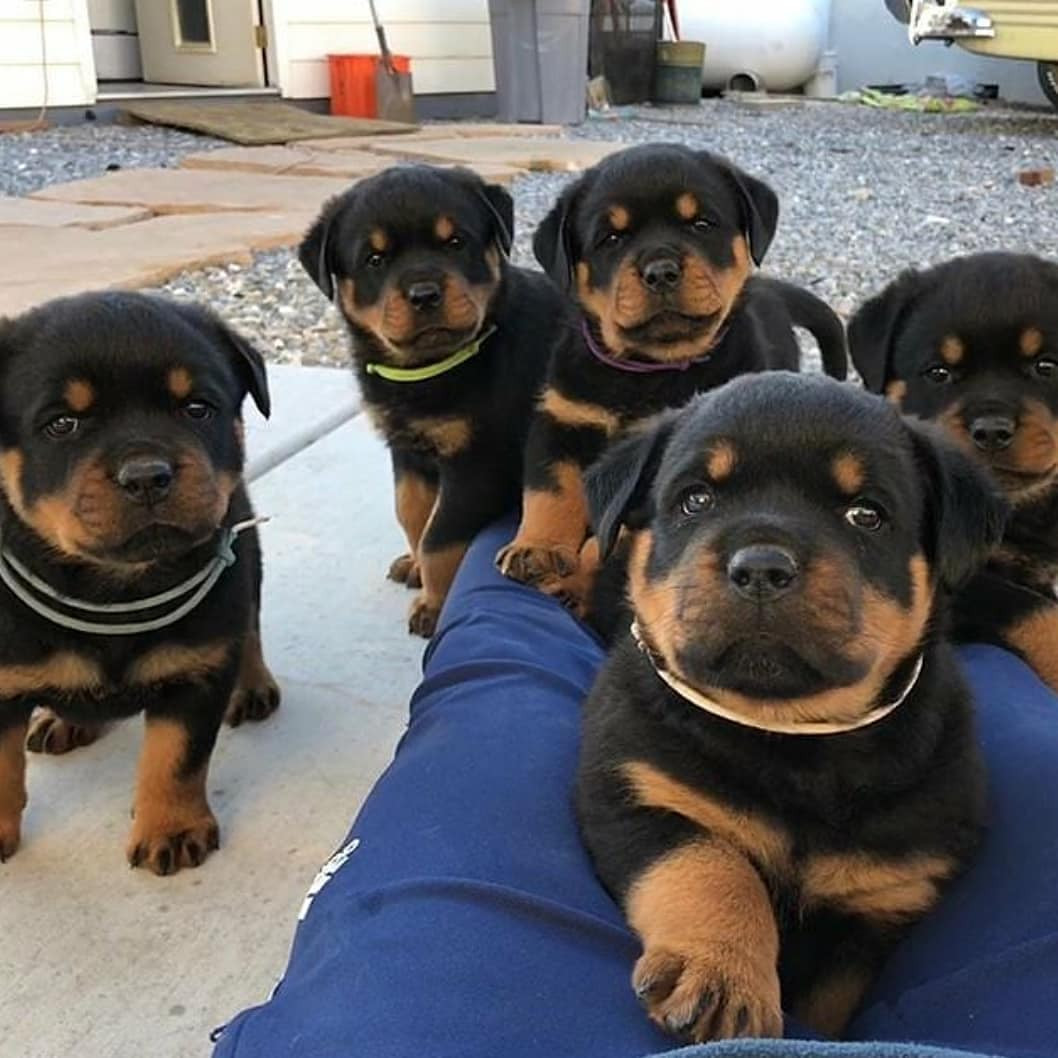 Rottweiler Puppies For Sale Houston Tx 288541