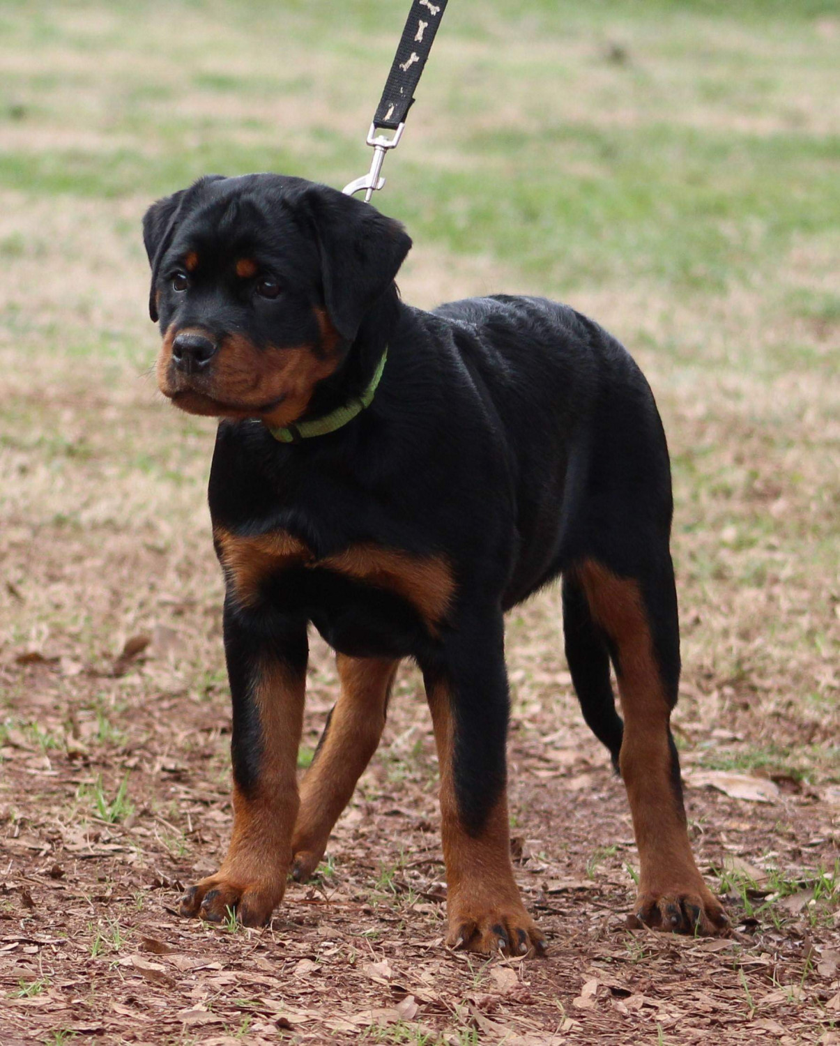 Rottweiler Puppies For Sale Charlotte Nc 289672