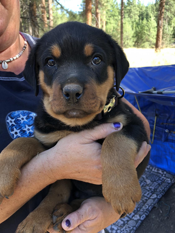 Western Australia | Dogs & Puppies | GPuppy Rottweiler For Sale