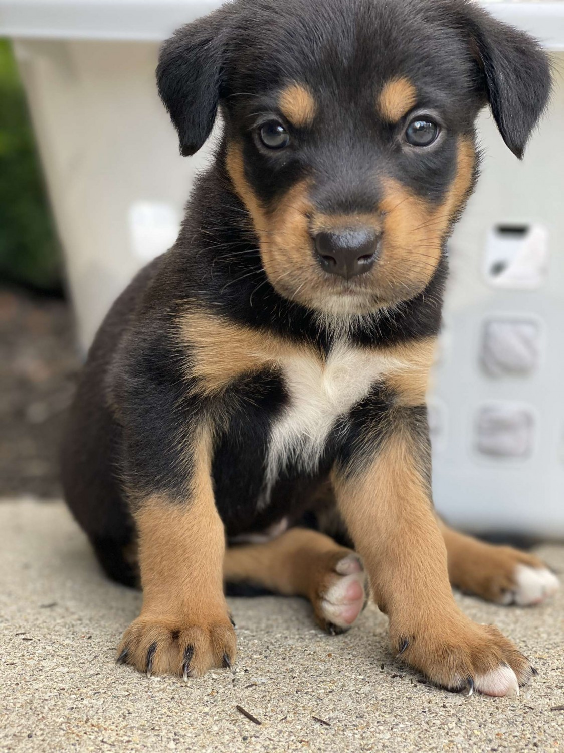 View Ad: Rottweiler Puppy for Sale, Poland