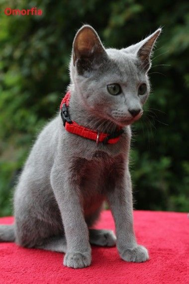 Russian Blue Cats For Sale Erie Pa 207094 Petzlover