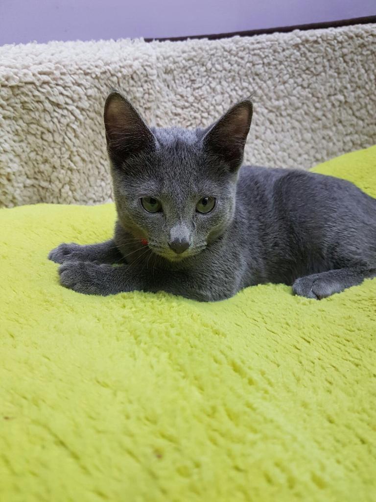 Russian Blue Cat For Sale Virginia