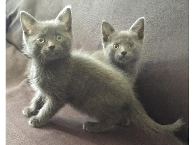 Russian Blue Cats For Sale   Atlanta, GA #255736   Petzlover
