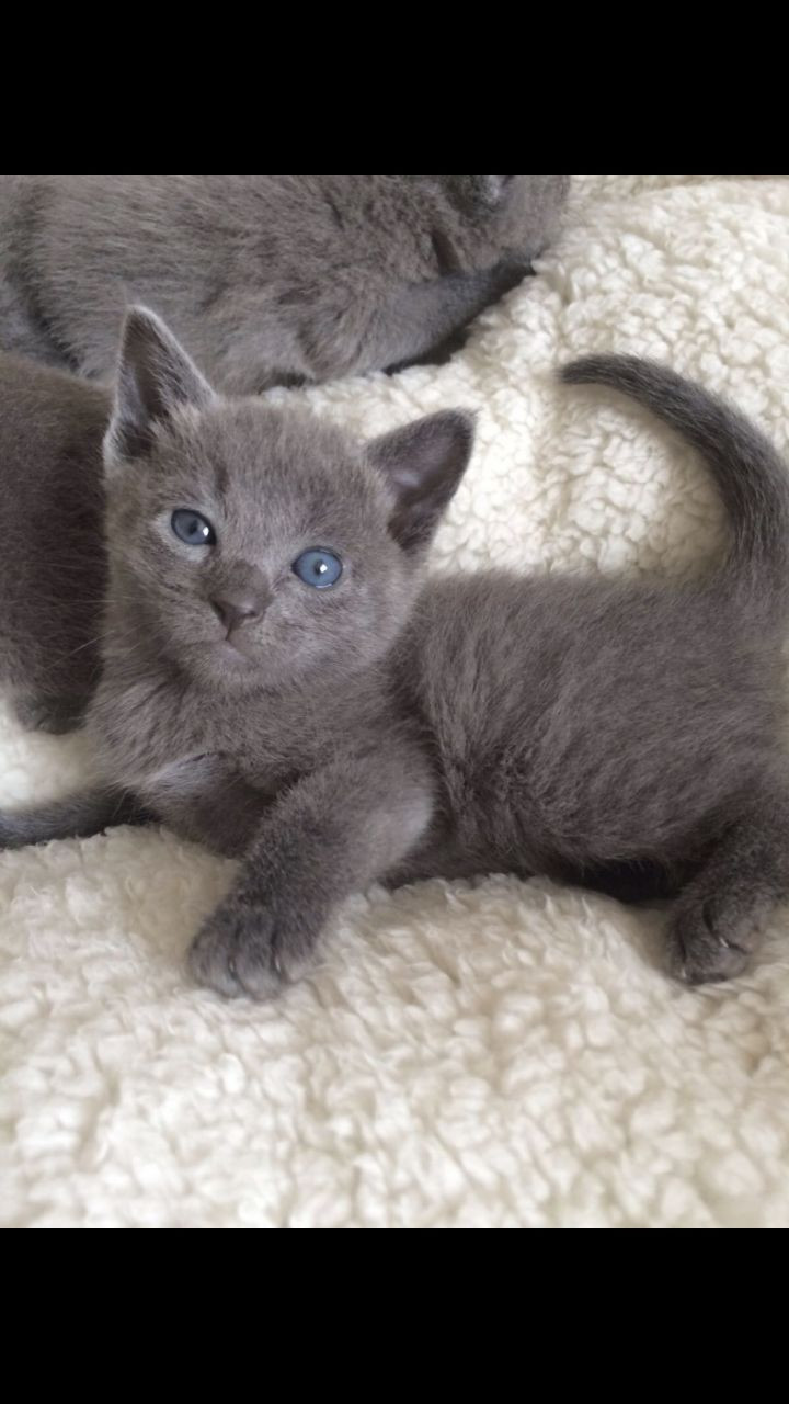 Russian Blue Cats For Sale Columbus Oh 258999