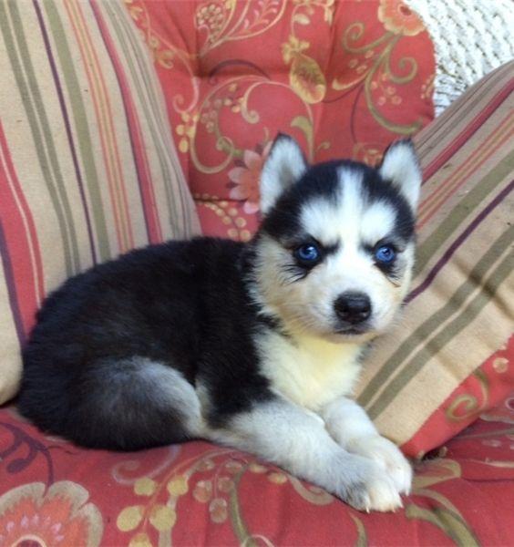 Siberian Husky For Sale In Ny