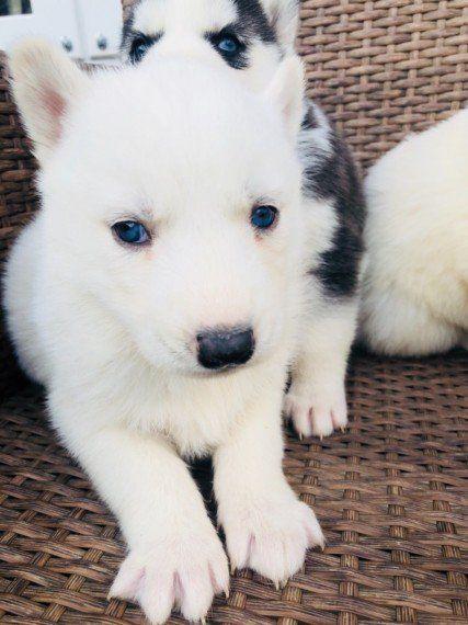 Puppies For Sale In Albuquerque >> Sakhalin Husky Puppies For Sale Albuquerque Nm 286807