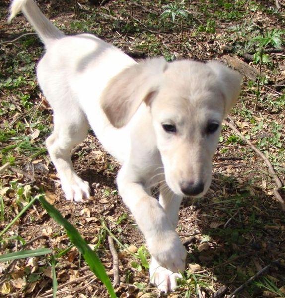 Saluki Puppies For Sale   Austin, TX #222171   Petzlover