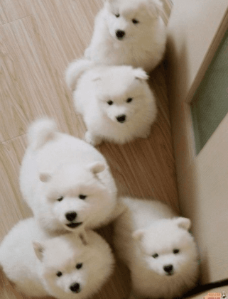 Samoyed Puppies For Sale El Paso Tx 145273 Petzlover