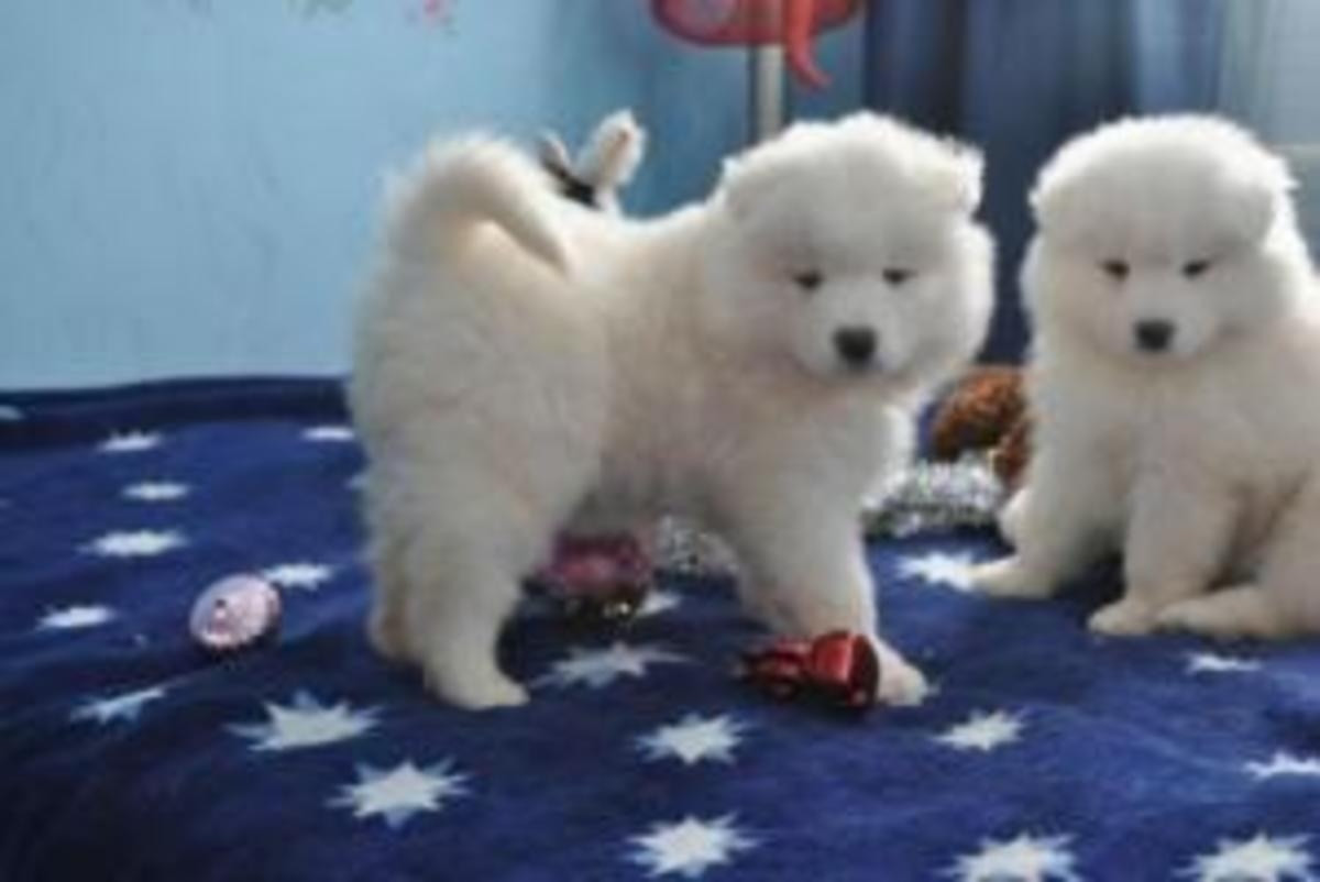 Samoyed Puppies For Sale | San Diego, CA #158539 | Petzlover