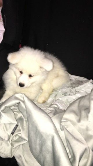 Samoyed Puppies For Sale Mn Petfinder
