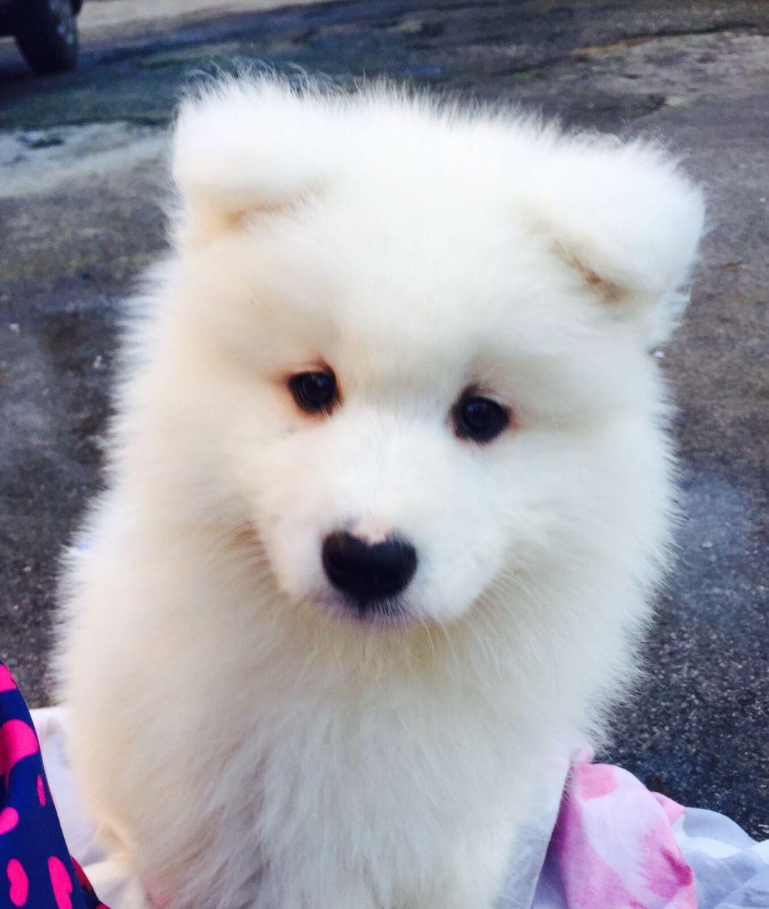 Samoyed For Sale >> Samoyed Puppies For Sale West Leonard Road Addison Township Mi