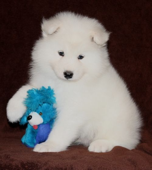Samoyed Puppies For Sale Chicago Il 196364 Petzlover