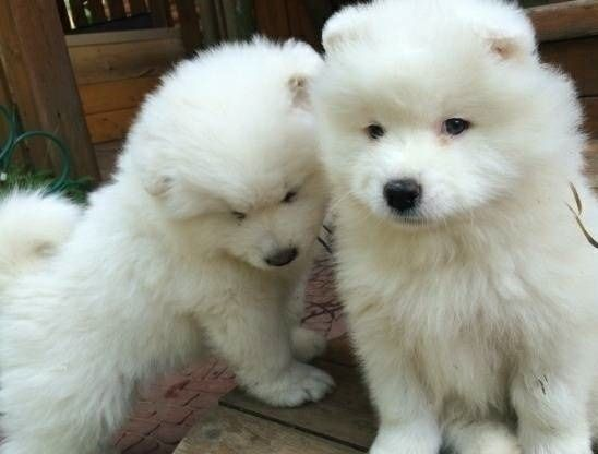 Samoyed Puppies for Sale from Reputable Dog Breeders