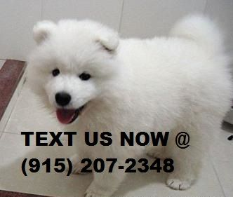 Samoyed Puppies for Sale - NextDayPets.com
