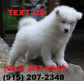 Puppies For Sale In Albuquerque >> Samoyed Puppies For Sale Albuquerque Nm 253710