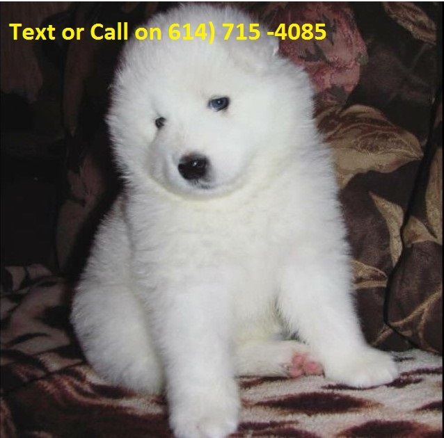 Great Lakes Breeders - Samoyed Club of America
