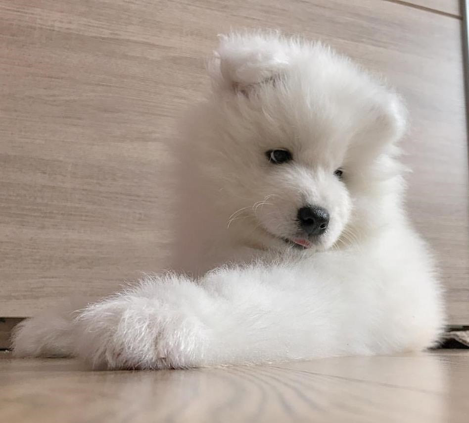 Samoyed For Sale >> Samoyed Puppies For Sale Boston Ma 286435 Petzlover