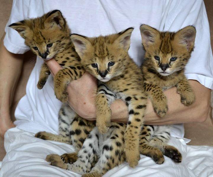 Savannah Cats For Sale   Salt Lake City, UT #70059