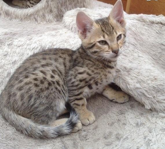 Savannah Cats For Sale | Huntsville, AL #129512 | Petzlover