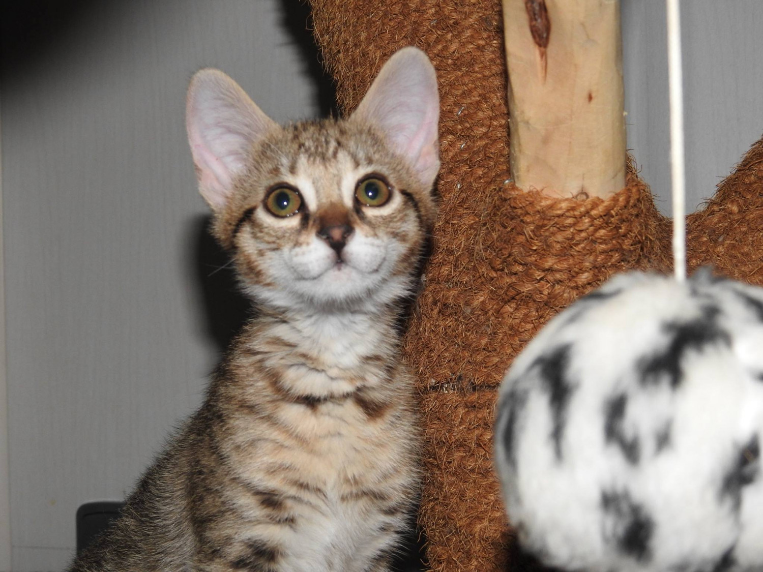 Savannah Cats For Sale In Seattle